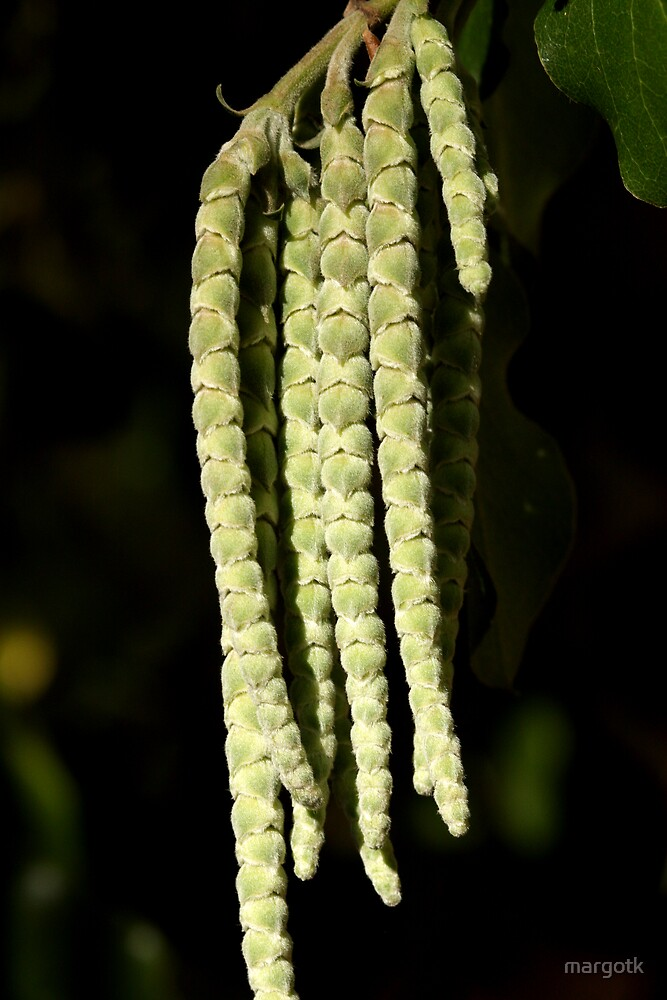 Garrya elliptica by margotk