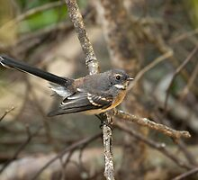 White-browed Scrubwren by Blue Gum Pictures