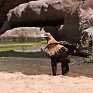 Wedge-tailed Eagle by Blue Gum Pictures