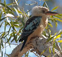 Blue-winged Kookaburra by Blue Gum Pictures