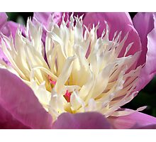 It's Peony time Photographic Print