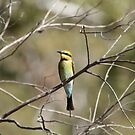 Rainbow Bee-eater by Blue Gum Pictures