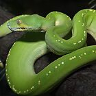 Australian Green Tree Python by Steve Bullock