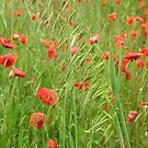 Rye grass and poppies by Gabrielle Battersby