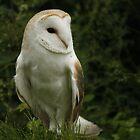 Barn Owl by Ann Heffron
