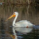 The White Pelican by Daniel Doyle