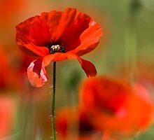 Poppy Haze by geoff curtis