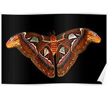 Atlas Moth on Black Poster