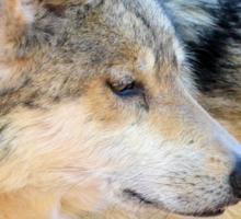 Desert Wolf Sticker