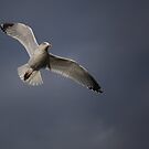 Herring Gull by larry flewers
