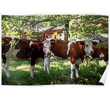 Cowbells, Cow Belles and Bulls Poster