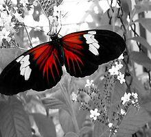 Butterfly in Red    135 Views by Rosalie Scanlon