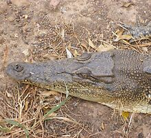 Estuary Crocodile (NT, Australia) by Michelle Spencer