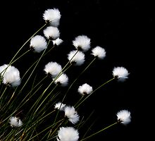 Cottongrass by Andy Harris