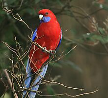 Crimson Rosella by Tony Waite-Pullan