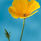 Eschscholzia by John Edwards