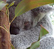 Cuddly Koala by Chris Kean