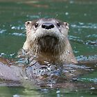 Hello otter! by Anthony Brewer