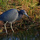Little Blue Heron by Denis Wagovich