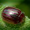Rosemary Beetle by John Hooton