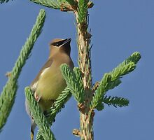 Highest Point Cedar Waxwing by Molly  Kinsey
