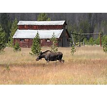 Field Moose Photographic Print