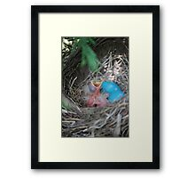 Young Robins Framed Print