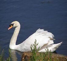Pen swan by jay12