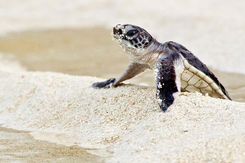 Baby green sea turtle by David Wachenfeld