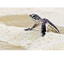 Baby green sea turtle Photographic Print