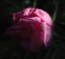 Shadow Rose by JTrask