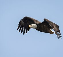 American Bald Eagle 2015-1 by Thomas Young