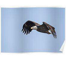 American Bald Eagle 2015-1 Poster