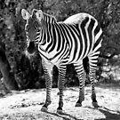 Zebra in Black and White by Ann  Van Breemen