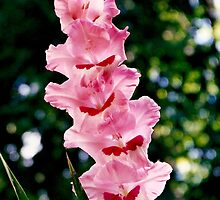 Gladiolus by CanvasMan