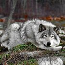Do not disturb this wolf... by Poete100