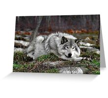 Do not disturb this wolf... Greeting Card
