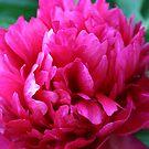 Peony Rose by mousesuzy
