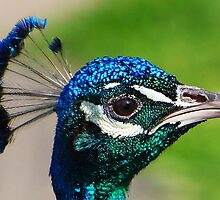 Blue Peacock's head by jdmphotography