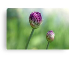 Shadowed Allium Buds - Purple And Green Canvas Print