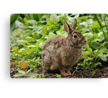You Can't See Me - Eastern Cottontail Canvas Print