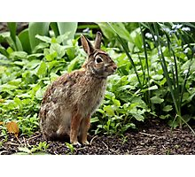 Ready For Takeoff - Eastern Cottontail Photographic Print