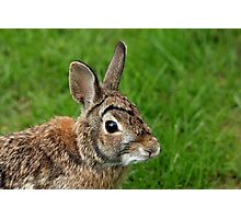 Big Eared Brown Eyed Cottontail Photographic Print