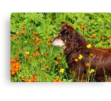 A Thoughtful Moment For  Australian Shepherd Canvas Print