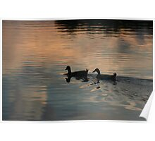 Two ducks in an afternoon pond. Poster