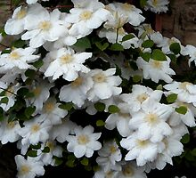 White Clematis by hilarydougill