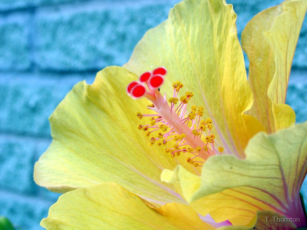 Lovely Hibiscus by T. Thornton