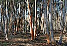 Sugar Gums - Kanmantoo by LeeoPhotography