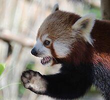 Red panda by Ian Smith