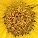 Heart of Gold (Sunflower) by Dan & Emma Monceaux
